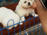 京巴多少钱一只 哪里出售京巴幼犬 京巴图片