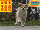 哪里有秋田犬出售 秋田犬多少钱一只 在哪里