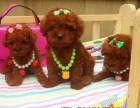 精品小体泰迪幼犬 颜色齐全 泰迪出售 泰迪多少钱