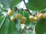 大连低价出售6-8岁丰产大樱桃树