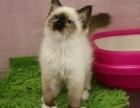 广州猫舍繁育海双蓝双布偶猫优选品质全程教会养猫