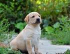 高品质纯种拉布拉多幼犬 幼犬待售中 专业繁殖品质保