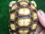 变色龙宠物蜥蜴绿鬣鬃狮陆龟活泼可爱