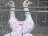 大鼻子鸽 点子鸽 观赏鸽 毛领鸽 眼睛球鸽 特大元宝鸽