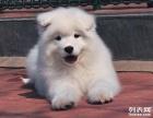 精品薩摩耶幼犬一證書齊全一血統純正送用品簽協議