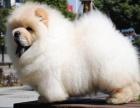 纯种大头肉嘴松狮犬 宠物狗狗肥嘟嘟3个月包健康
