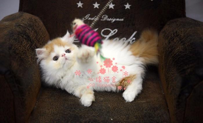 无锡哪里卖加菲猫较便宜多少钱一只 购买包健康多久