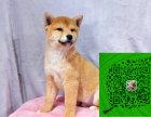 出售柴犬 专业繁殖 只做精品 签协议售后包三年