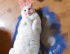 宠物猫全白健康望养免费