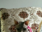 斯芬克斯无毛猫 求收养