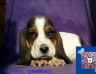 巴吉度-纯种健康专业狗场繁殖-签协议-可送货上门