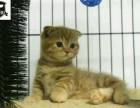 狮猫 幼猫 波斯系 纯白 橘白 正八字脸
