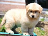 重庆活体出售金毛犬 幼犬寻回犬 金毛狗纯种 三个月包退换