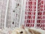 南京CFA双血统纯种加菲猫