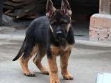 哪里有卖纯种双血统德国牧羊犬纯种的长什么样子
