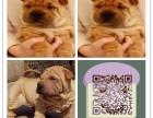 上海自家繁殖中心出售沙皮犬 一身褶子沙皮幼犬 纯种沙皮价格