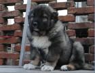 狗市可以买到纯种高加索吗 多少钱一只