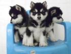 南宁实体犬舍直销出售优质阿拉斯加 可当面看狗支持货运