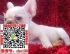重庆专业繁殖法牛英牛幼犬基地出售精品斗牛幼犬