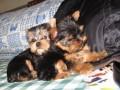 惠州哪有约克夏犬卖 惠州约克夏犬价格 惠州约克夏犬多少钱