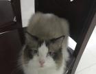 海豹双色布偶猫种公借配