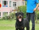视频看狗免费送货上门、签协议保健康—罗威纳可看父母