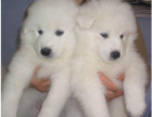 cku注册五星级犬舍 双血统大白熊可上门挑选