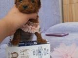小小哒 萌萌哒卷毛小体玩具泰迪 十分可爱