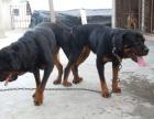 出售罗威纳幼犬 陕罗幼犬 欢迎选购
