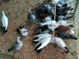 出售信鸽、扬州点子