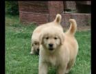 自己养的大骨架金毛幼犬狗狗找新家,公母都有 品相佳