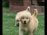 家养大头金毛宝宝幼犬转让,公母有,包纯种健康