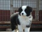 纯种边境牧羊犬 三通七白 高品质包健康 可签协议