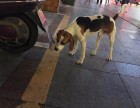 信阳市羊山五街重金寻找比格犬