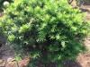 东北红豆杉盆栽 紫杉