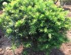 东北红豆杉盆栽 紫杉盆栽 耐寒红豆杉