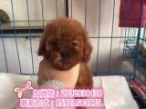 出售我家最萌最可爱的纯种茶杯泰迪犬长不得的狗狗