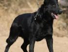 出售双血统赛级东德牧羊犬幼犬 CKU认证护卫犬繁育基地