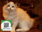 南通哪里有布偶猫出售 南通布偶猫价格 南通宠物猫转让出售