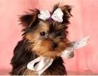 纯种超小体约克夏幼犬出售 自家犬舍繁殖 可送货上门