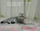 银虎斑加菲猫异国短毛猫自家养的