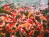 锦鲤 ,金龙,发财鱼