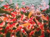 锦鲤 ,金龙,发财鱼,观赏鱼,鱼缸定制