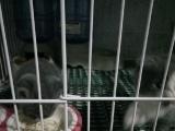 英国短毛蓝猫,蓝白女,蓝猫公够日期了,可以抱回家