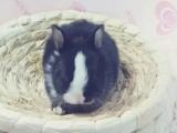 家养的宠物兔