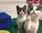 血统蓝白英短mm 蓝白八字脸英短妹妹 猫咪 找新家
