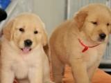 佛山出售纯种金毛幼犬活体金毛巡回猎犬大头宽嘴活体宠物狗