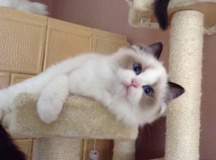 菏泽本地布偶猫 CFA血统 纯种猫 活体 海豹双色