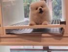 犬舍繁殖博美宝宝出售,急,价不高要的快来!