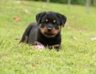 罗威纳幼犬高大威猛四肢粗壮品相好疫苗已做